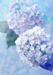 梅雨、紫陽花、雨、パパのリフォーム